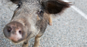 Menacing Hogs in Tennessee Thwarted by ...